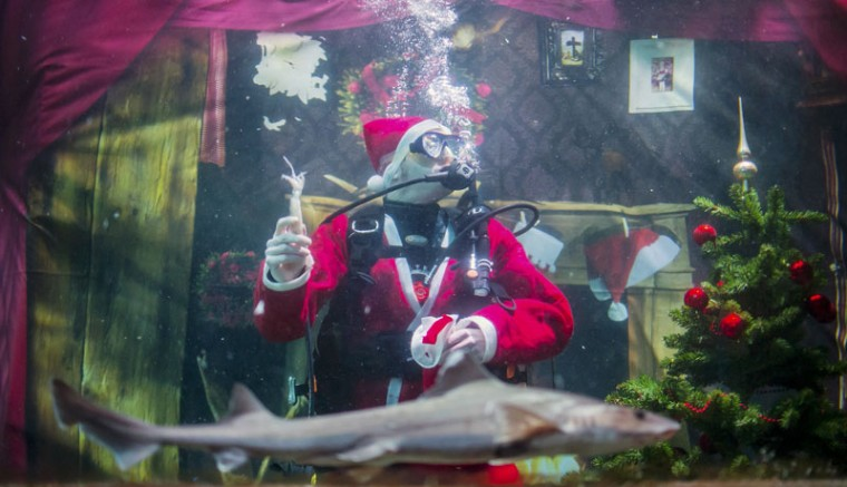 A diver dressed as Santa Claus feeds fishes inside a fish tank at the Sea Life aquarium in Berlin December 2, 2014. (Hannibal Hanschke/Reuters)