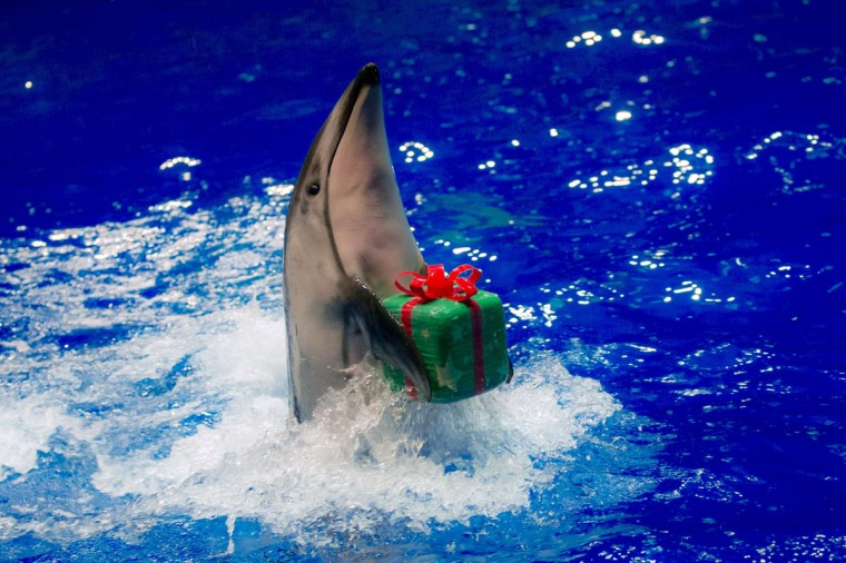 A dolphin moves to return a parcel to its trainer during a special Christmas show at the Shinagawa Aqua Stadium in Tokyo December 23, 2014. (REUTERS/Thomas Peter)