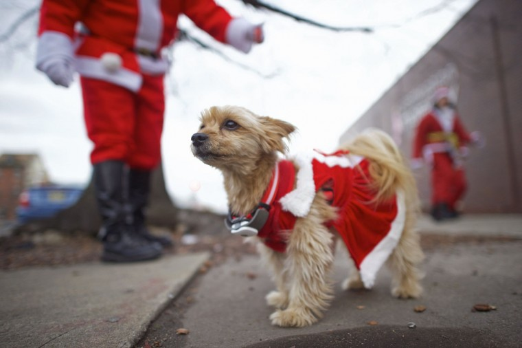 "A dog named Maggie watches runners participate in the ""Running of the Santas"" in Philadelphia, Pennsylvania December 13, 2014. The annual pub crawl event started in 1998. (Mark Makela/Reuters)"