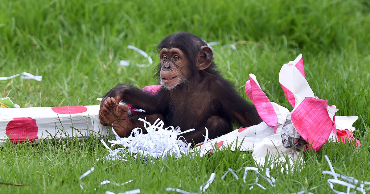 Chimpanzees enjoy early Christmas in Sydney, Australia