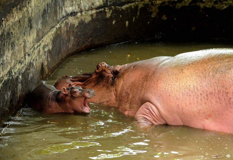 A baby Hippo playes with her mother, Agustina in the water at Surabaya Zoo on January 9 in Surabaya, Indonesia. In the midst of prolonged internal management conflict over the treatment of animals, Surabaya Zoo starts the new year cheerfully with the presence of two new members, a baby Hog Bawean deer (Axis kuhlii) on January 1 and a baby Hippo (Hippopotamus amphibius) on January 2.  (Photo by Robertus Pudyanto/Getty Images)