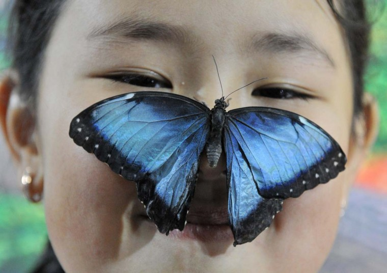 A butterfly lands on the nose of a girl during a butterflies exhibition in Bishkek on January 9, 2015.  || CREDIT: VYACHESLAV OSELEDKO. - AFP/GETTY IMAGES