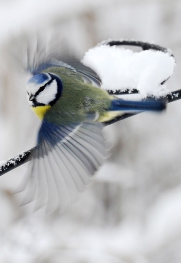 An Eurasian blue tit flies in a park in Munich, southern Germany, Wednesday Jan. 28, 2015. Weather forecasts predict changeable weather for Germany during the next few days. (AP Photo/dpa, Tobias Hase)