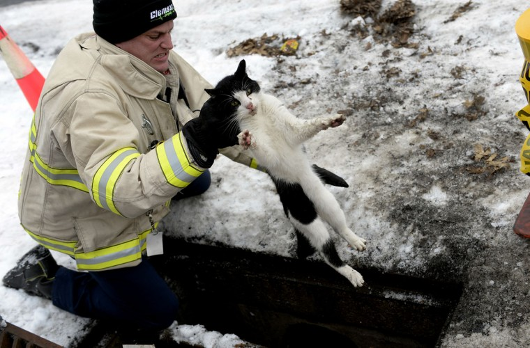 Lebanon City Fire Commissioner Duane Trautman pulls a cat from the storm drain on Thursday, Jan. 29, 2015 in Lebanon, Pa. (AP Photo/Lebanon Daily News, Jeremy Long)