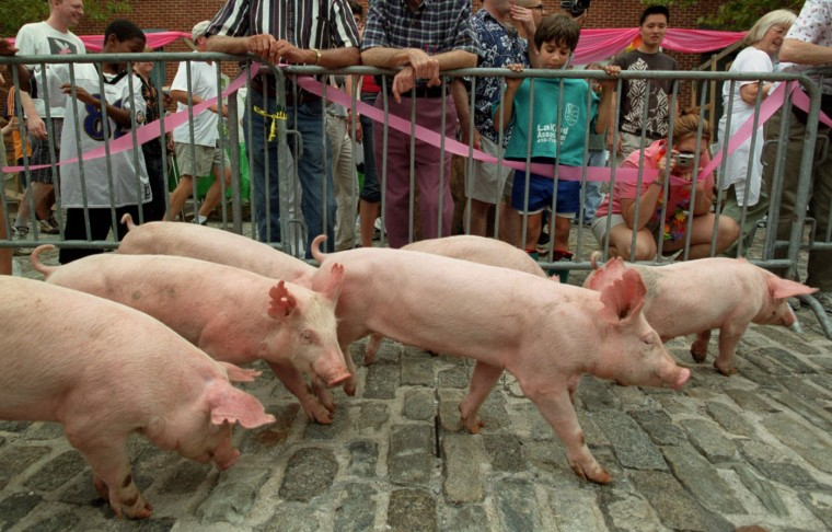 """9/14/02: Eight ten-week-old pigs (six are visible) from Porky Pines Farm, Clarksburg, MD, make their way across the cobblestones of the 800 block of McHenry St. for the """"Running of the Pigs!"""" This is one of the events for The 1st Annual Pigtown Festival. (Kim Hairston/Baltimore Sun)"""
