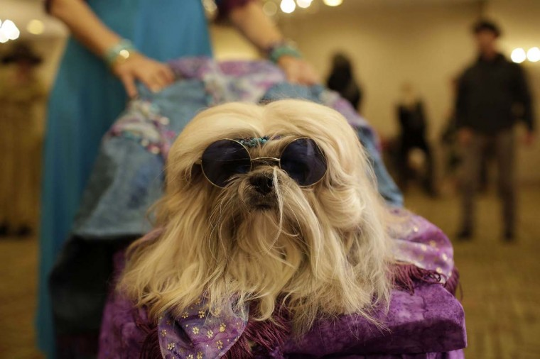 Giannan, a Shizu dog is pictured with sunglasses backstage during the pet fashion show, part of New York Fashion Week, February 12, 2015 in New York.       CREDIT: JOSHUA LOTT - AFP/GETTY IMAGES