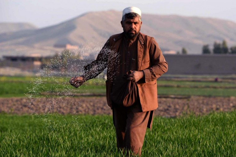 In this photograph taken on February 12, 2015, an Afghan farmer scatters fertilizer on his crops on the outskirts of Jalalabad in Nangarhar province.  The four-star general in charge of U.S. forces in the country testafied before senators on Thursday, discussing plans to remove troops.   CREDIT: NOORULLAH SHIRZADA - AFP/GETTY IMAGES