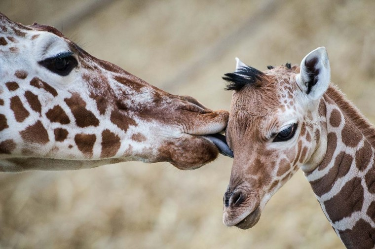 A baby giraffe is being licked by another giraffe at the zoo in Duisburg, western Germany, on February 13, 2015. The baby giraffe was born at the zoo on February 11, 2015.   CREDIT: MAJA HITIJ - AFP/GETTY IMAGES