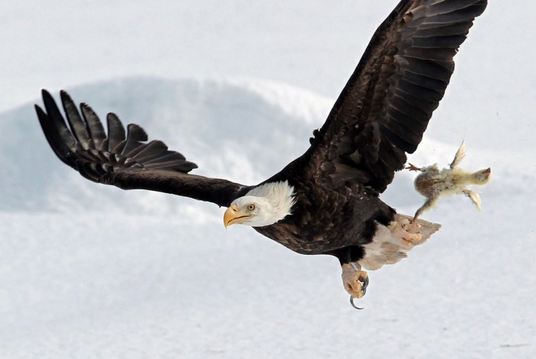 A bald eagle flies with a dead chicken plucked from the snow in a farmer's field, Thursday, Feb. 26, 2015, near Sheffield Mills, Nova Scotia. The carcass was from the die-offs of local chicken farms that are put out every year for a variety of hawks and eagles to feast on. (Tim Krochak/The Canadian Press/Halifax Chronicle-Herald/AP Photo)