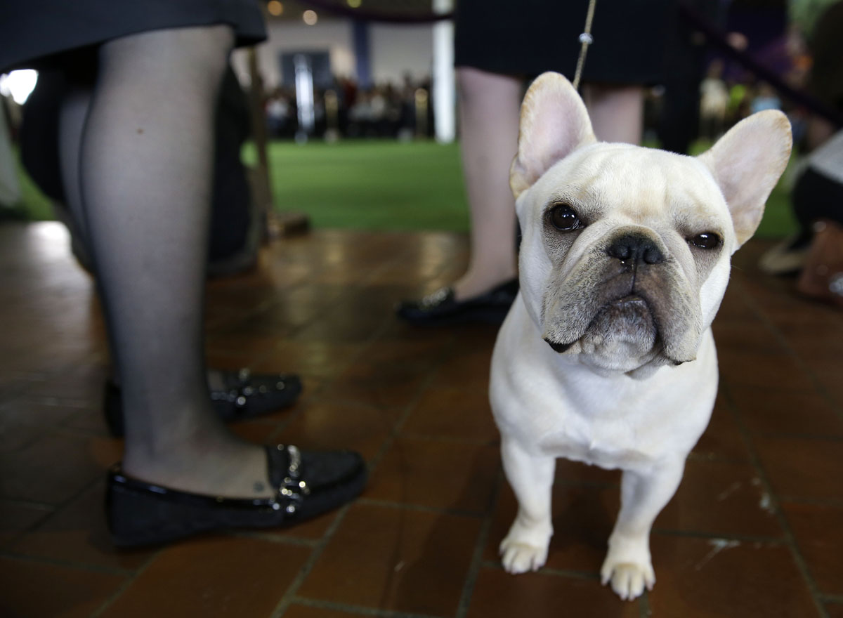 Scenes from the 2015 Westminster Kennel Club Dog Show