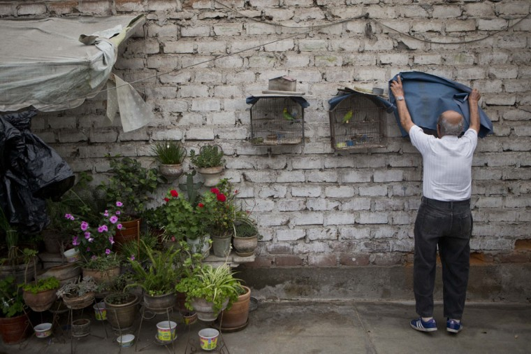 "Veteran clown Ricardo Farfan, popularly known as ""Pitito,"" covers his pet canaries in the late afternoon in his home's patio in Lima, Peru. ""I was able to make three consecutive mortal jumps, I was very agile, now from so many jumps and falls, my joints hurt,"" he said. (AP Photo/Esteban Felix)"