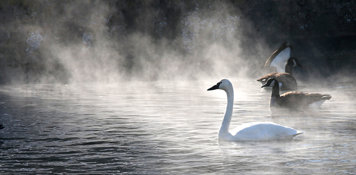 Amid single-digit temperatures Tuesday morning, mist rises from Rouss Spring in Winchester, Va. as a rare visitor, a trumpeter swan, paddles around with Canada geese. The trumpeter swan was a regular visitor in colonial days, according to the Virginia Department of Game and Inland Fisheries, but is now the least common swan in Virginia. (Jeff Taylor/The Winchester Star/AP)