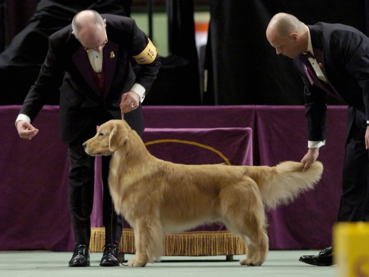 Westminster Dog Show Golden Retriever Winners