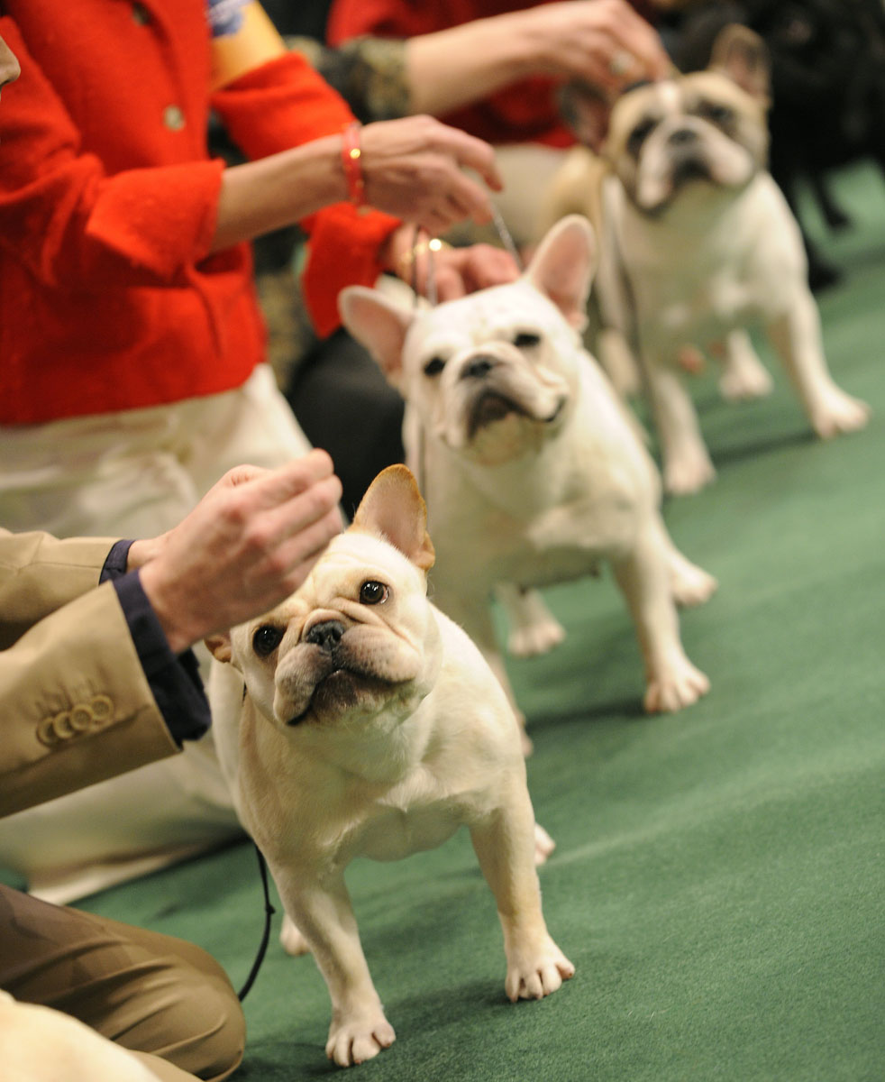 Past winners and competitors at the westminster dog show for French shows