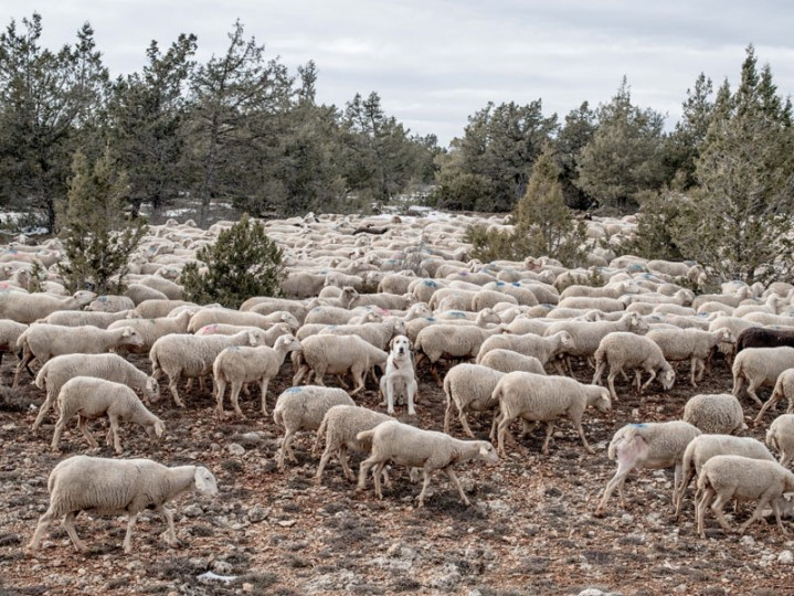 A mastiff sits among grazing sheep near the village of Codes on Feb. 14 near Molina de Aragon, Spain. Agriculture and ranching are the main economic sources all around the region. (David Ramos/Getty Images)