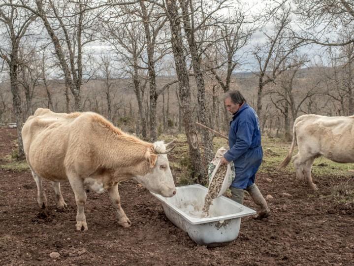 Juan Julian Munoz, 49, feeds his cows at his farm near the village of Selas on Feb. 24 near Molina de Aragon, Spain. (David Ramos/Getty Images)