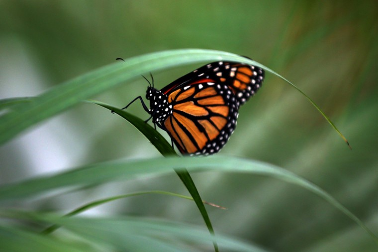 "A Large Tiger butterfly sits on a plant during a photocall to highlight the forthcoming ""Sensational Butterflies"" exhibition at the Natural History Museum on Tuesday in London. (Carl Court/Getty Images)"