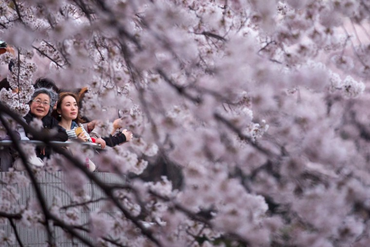 People view blooming cherry blossom trees at Chidorigafuchi on Tuesday in Tokyo. The cherry blossom season begins in Okinawa in January and moves north through Feburary, peaking in Kyoto and Tokyo at the end of March and lasting just over a week. (Chris McGrath/Getty Images)