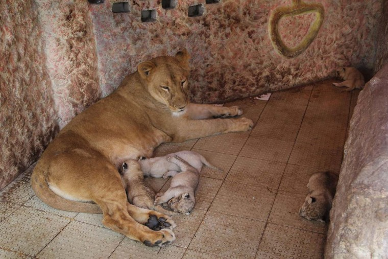 In this photograph taken on March 26, 2015, newly born lion cubs nuzzle their mother in their enclosure at a specialliy built mini-zoo in the grounds of wealthy landowner Mahi's residence in Multan.   An animal enthusiast in Pakistan is celebrating a roaring success after his pet lioness Rani gave birth to five healthy cubs.    || CREDIT: S S MIRZAS  - AFP/GETTY IMAGES