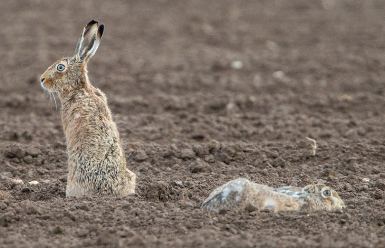 Two hares are pictured on Tuesday in a field in Erlenbach, Germany. (BORIS ROESSLER/AFP/Getty Images)