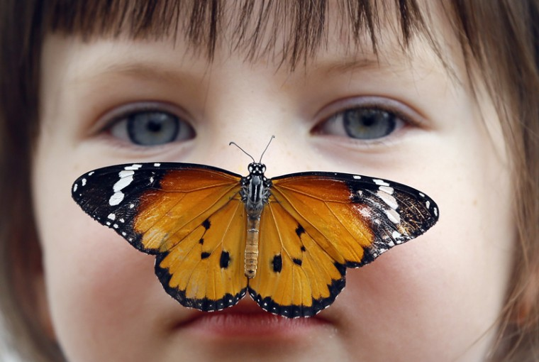 "Georgia Ball Keely, 4, holds still as a Danaus Chrysippus or ""plain tiger"" butterfly lands on her nose during a media opportunity at the Natural History Museum in London on Tuesday. Hundreds of live tropical butterflies will fill the butterfly house for the returning exhibition called ""Sensational Butterflies,"" open at the museum from Thursday through Sept. 13. (Kirsty Wigglesworth/AP)"
