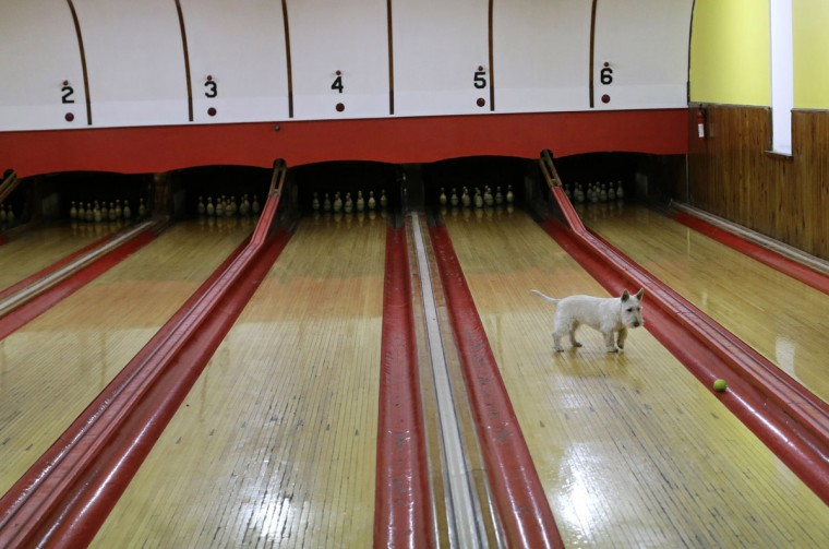 Owner Scott Asbell's dog Charles chases after a tennis ball after a duckpin bowling tournament at Shenandoah Bowling Lanes, Saturday, March 28, 2015, in Mount Jackson, Va. Shenandoah, open since 1948, is one of around 60 remaining duckpin alleys in the United States. (AP Photo/Patrick Semansky)
