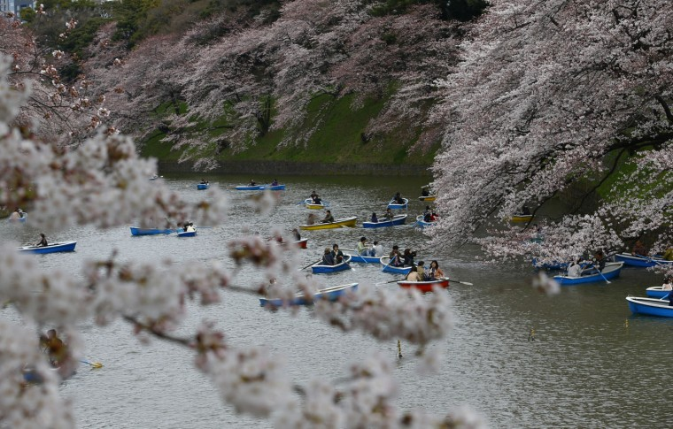 People row their boats in the Imperial moat under the canopy of the cherry blossoms in Tokyo, Sunday, March 29, 2015. (AP Photo/Shizuo Kambayashi)