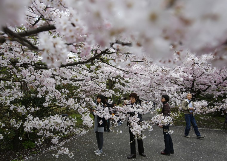 Women take photos of the blooming cherry blossoms near the Chidorigafuchi Imperial Palace moat in Tokyo, Sunday, March 29, 2015. (AP Photo/Shizuo Kambayashi)