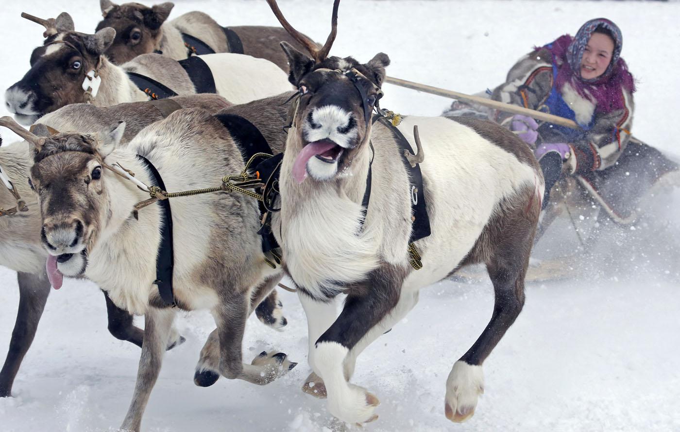Herding reindeer in Russia