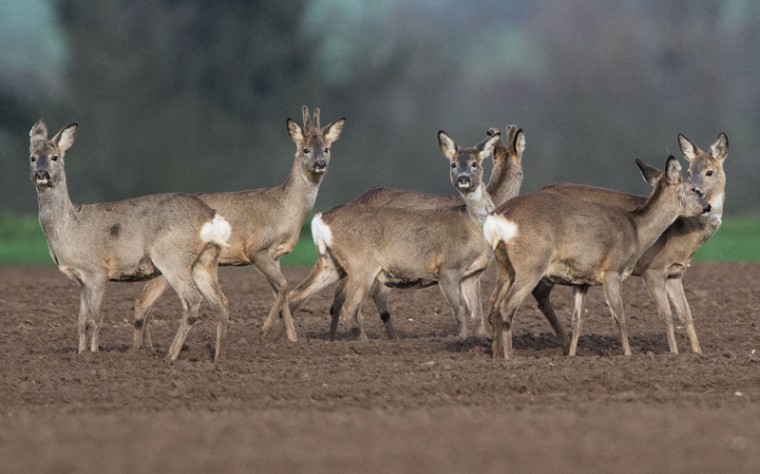 Deer are pictured on Tuesday in a field in Nieder-Erlenbach, Germany. (BORIS ROESSLER/AFP/Getty Images)