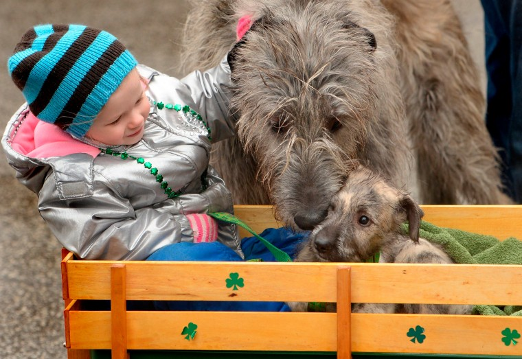Isabelle Barry, 3, of Erie, is accompanied by Irish Wolfhounds Jamison, left, and Brennan, right, while marching in the 38th annual St. Patrick's Day Parade in Erie, Pa. (Jack Hanrahan/Erie Times-News/Associated Press)