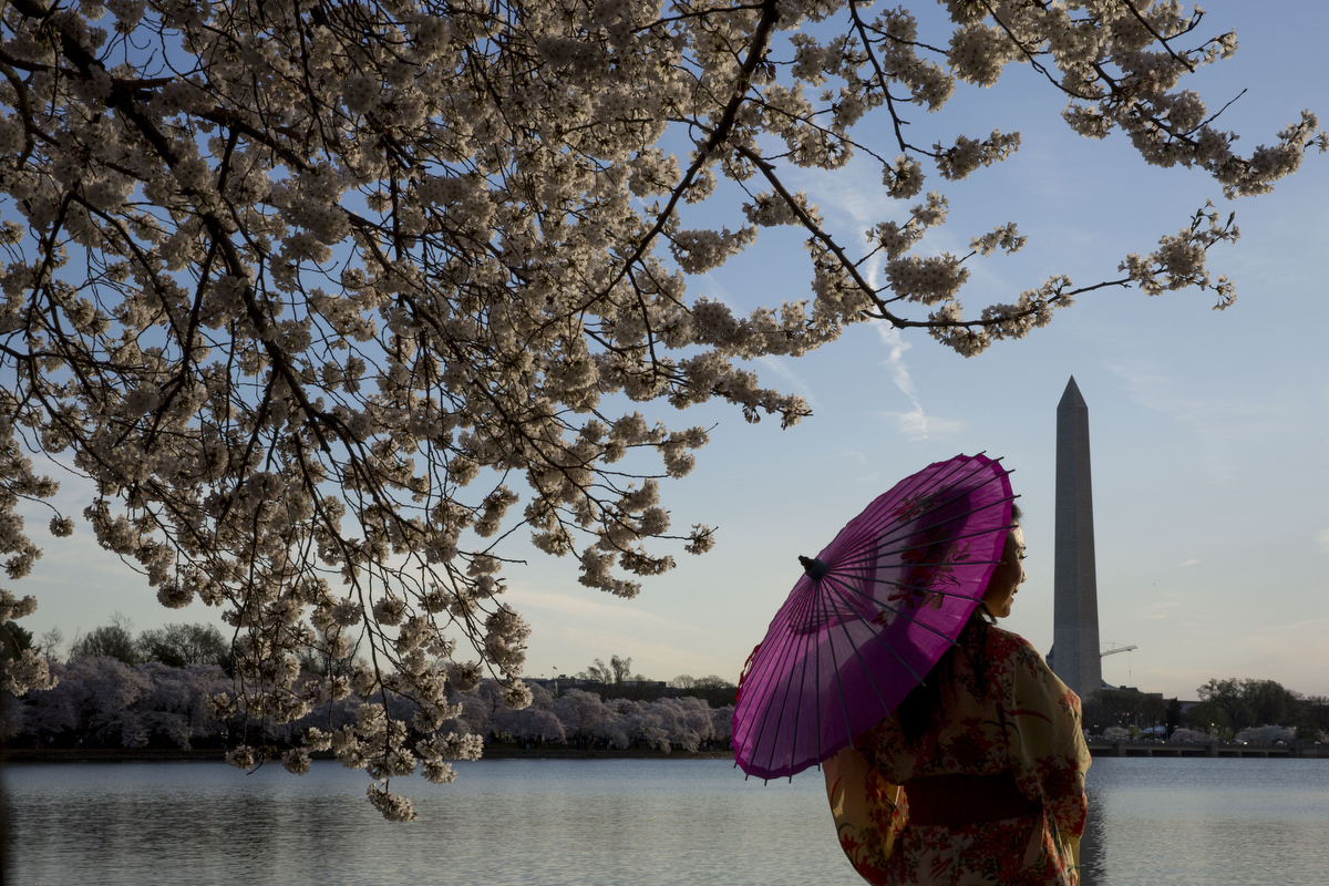 Cherry blossoms bloom in Washington D.C.