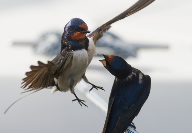 Barn Swallows are pictured on Tuesday in Barhoeft, Germany. (STEFAN SAUER/AFP/Getty Images)