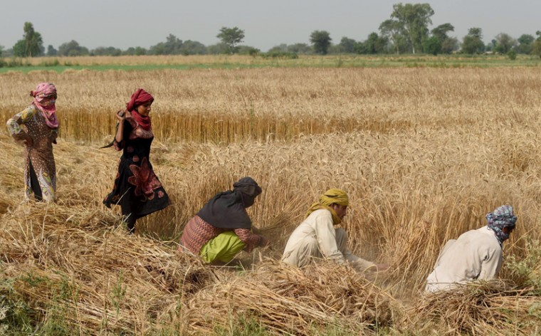 Pakistani farmers harvest wheat on the outskirts of Lahore on Tuesday. (Arif Ali/AFP/Getty Images)