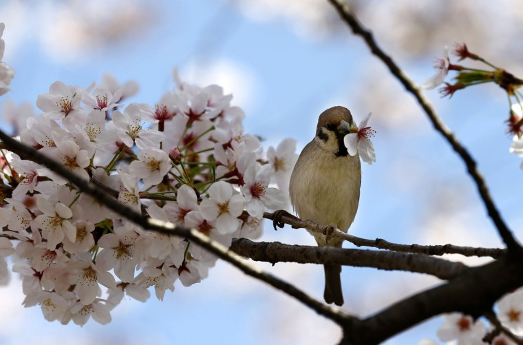 A sparrow drinks the nectar of a cherry blossom in full bloom at Ueno park in Tokyo, Thursday, April 2, 2015. (AP Photo/Shizuo Kambayashi)