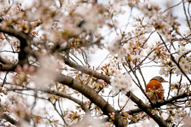 A Robin sits in a cherry blossom tree along the Tidal Basin in Washington, Tuesday, April 7, 2015. Officials are calling for a peak bloom period from April 11-14th. (AP Photo/Andrew Harnik)