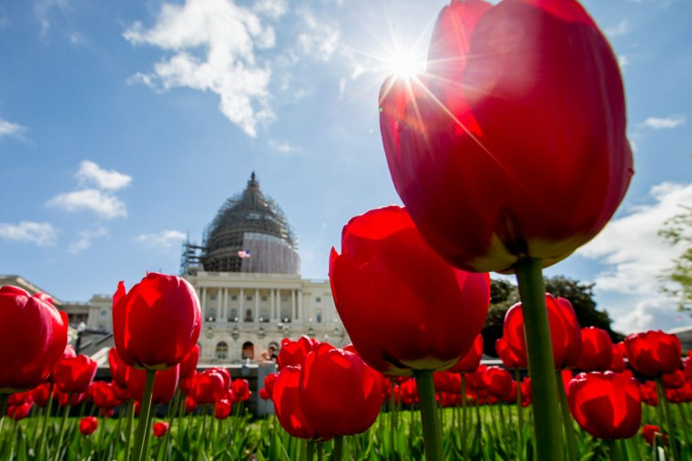 Tulips bloom on the West Lawn of the Capitol in Washington, Monday, April 20, 2015. (AP Photo/Andrew Harnik)