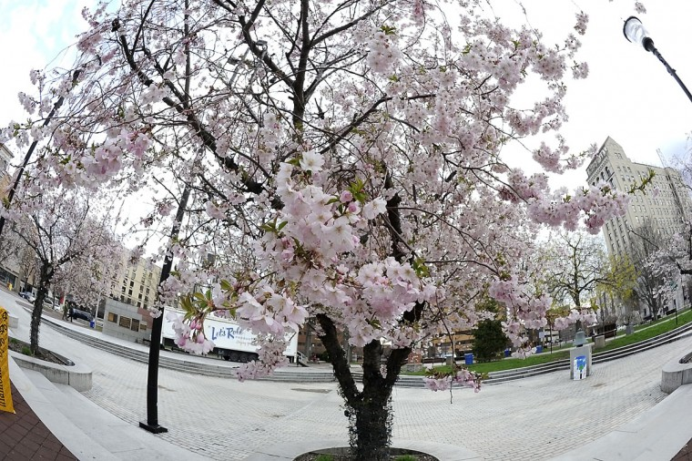 Cheery blossoms bloom on Public Square in Wilkes-Barre, Pa., Wednesday, April 22, 2015. (Mark Moran/The Citizens' Voice via AP)
