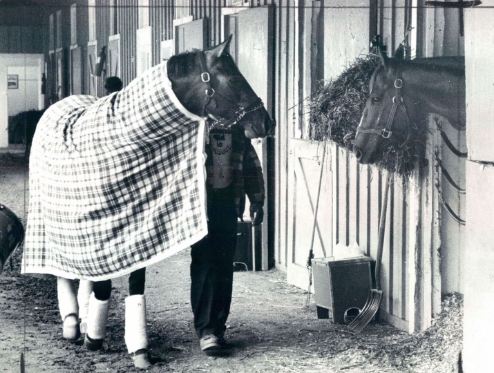 Spectacular Bid, out for a walk with groom Moe Hall, seems to be saying hello Screen King on Pimlico shedrow. (Weyman Swagger/Baltimore Sun)