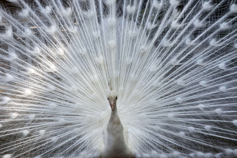 A white peacock opens its plumage at the Nogeyama zoo in Yokohama, suburban Tokyo on Tuesday. (YOSHIKAZU TSUNO/AFP/Getty Images)