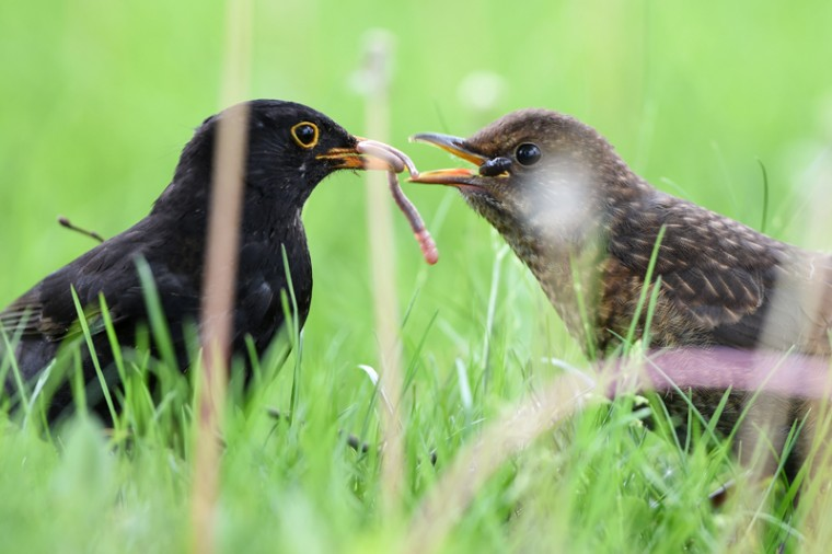 A blackbird feeds its offspring on Tuesday in Langenargen, southern Germany. (FELIX KAESTLE/AFP/Getty Images)