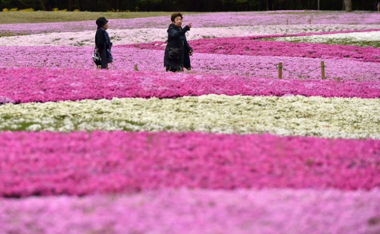 "Visitors stroll in a flower garden covered with over 800,000 ""shibazakura"", or moss phlox, in full bloom during the Fuji Shibazakura Festival at the foot of Mount Fuji in Fujikawaguchiko, Yamanashi prefecture on Tuesday. The festival will run until May 31. (KAZUHIRO NOGI/AFP/Getty Images)"