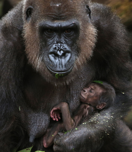 A baby Western lowland gorilla clings to its mother, Frala, at Taronga Zoo in Sydney, on Tuesday. The baby is believed to have been born late Tuesday or early Wednesday last week and the sex has yet to be determined. (Rick Rycroft/AP)