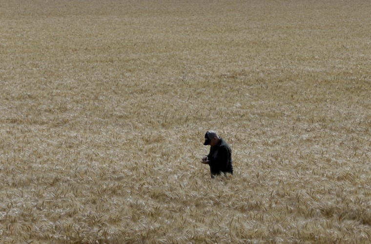 Gino Celli inspects wheat nearing harvest on his farm near Stockton, Calif. Celli, who farms 1,500 acres of land and manages another 7,000 acres, has senior water rights and draws his irrigation water from the Sacramento-San Joaquin River Delta. Farmers in the Sacramento-San Joaquin River Delta who have California's oldest water rights are proposing to voluntarily cut their use by 25 percent to avoid the possibility of even harsher restrictions by the state later this summer as the record drought continues.(AP Photo/Rich Pedroncelli)