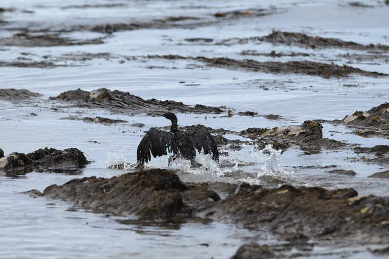 A bird covered in oil flaps its wings at Refugio State Beach, north of Goleta, Calif., Thursday, May 21, 2015. More than 7,700 gallons of oil has been raked, skimmed and vacuumed from a spill that stretched across 9 miles of California coast, just a fraction of the sticky, stinking goo that escaped from a broken pipeline, officials said. (AP Photo/Jae C. Hong)