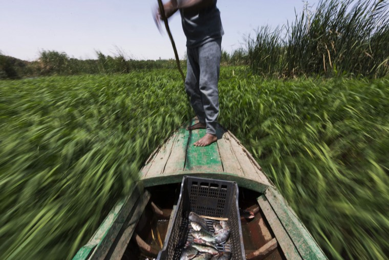 In this April 12, 2015 photo, Sayed Ahmed Abdoh poles his boat to check his fish traps in the Nile River, near Abu al-Nasr village, about 770 kilometers (480 miles) south of Cairo, Egypt. Abdoh caught some 20 fish this day and gave them to his friend, Salama Osman, a migrant worker in a Cairo apartment building, to celebrate his biannual return to their village. (AP Photo/Hiro Komae)