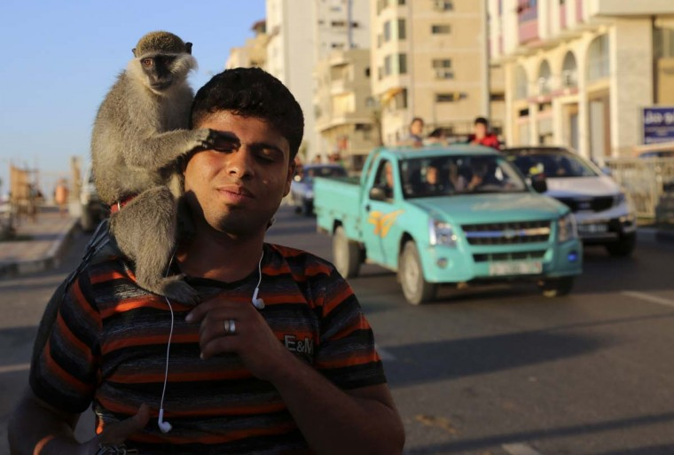 A Palestinian youth holds a monkey as he walks at the main beach road in Gaza City, northern Gaza Strip, Friday, May 8, 2015.  || CREDIT: ADEL HANA - AP PHOTO