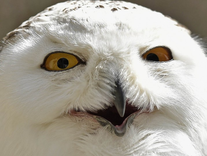 A snowy owl squints in the sun at the zoo in Gelsenkirchen, Germany, on a spring Wednesday, May 20, 2015. (AP Photo/Martin Meissner)