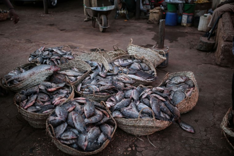 In this Thursday, April 16, 2015 photo, fish for sale are displayed at Omdurman fish market, which operates before dawn until sunrise, in Omdurman, Khartoum, Sudan. Fishermen can catch up to 100 kilograms (221 pounds) of fish on a really good day, but most days average around 50 kilograms. (AP Photo/Mosa'ab Elshamy)