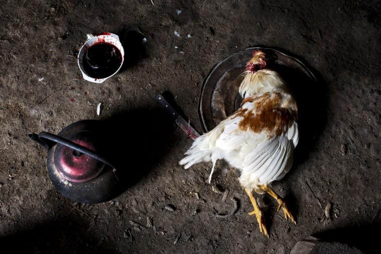 In this March 15, 2015 photo, a slaughtered chicken sits on a pan lid, to be used in a soup for a special dinner marking the second anniversary of the death of Yuri Galvez, in La Mar, province of Ayacucho, Peru. Galvez, 25, was killed in March 2013 during a cocaine smuggling trip. Deaths of cocaine backpackers often go unreported. Bodies lack identification papers, and villagers quietly bury them. (AP Photo/Rodrigo Abd)